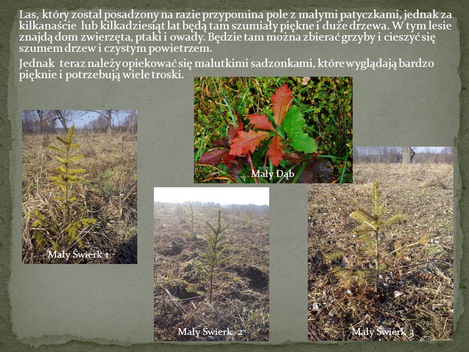 Las, który został posadzony na razie przypomina pole z małymi patyczkami, jednak za kilkanaście lub kilkadziesiąt lat będą tam szumiały piękne i duże drzewa. W tym lesie znajdą dom zwierzęta, ptaki i owady. Będzie tam można zbierać grzyby i cieszyć się szumem drzew i czystym powietrzem. Jednak teraz należy opiekować się malutkimi sadzonkami, które wyglądają bardzo pięknie i potrzebują wiele troski.