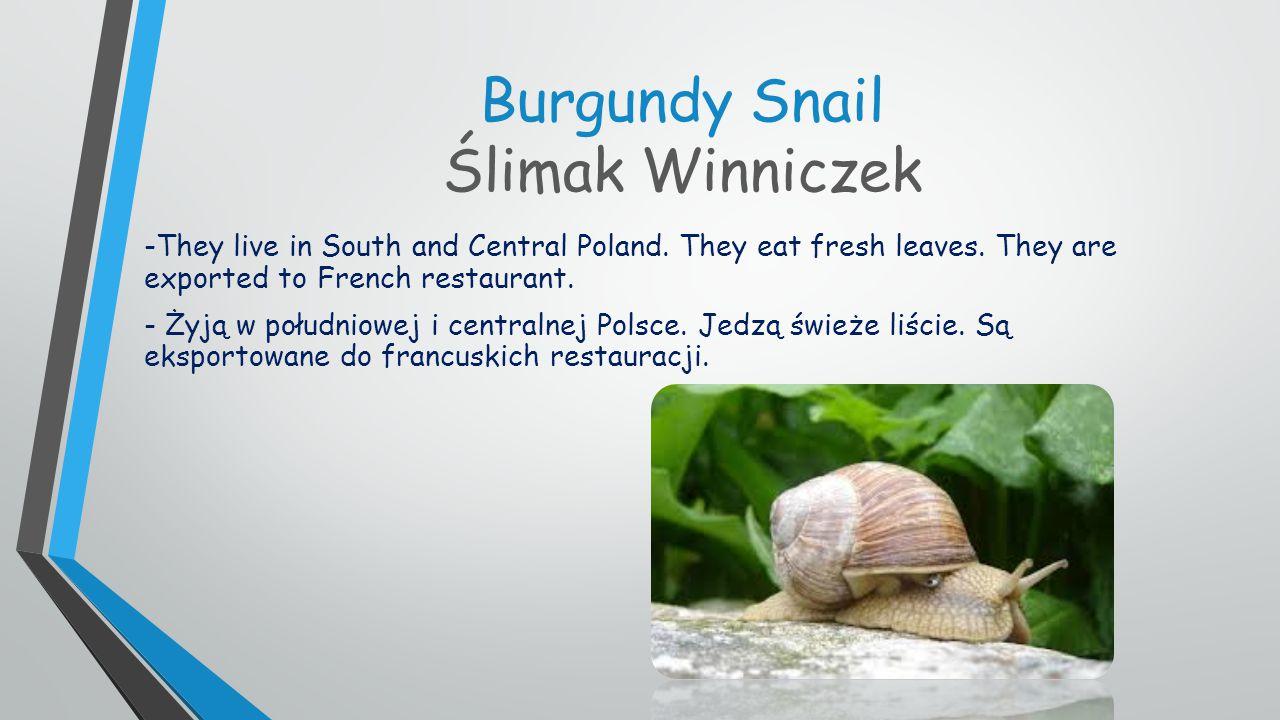Burgundy Snail Ślimak Winniczek