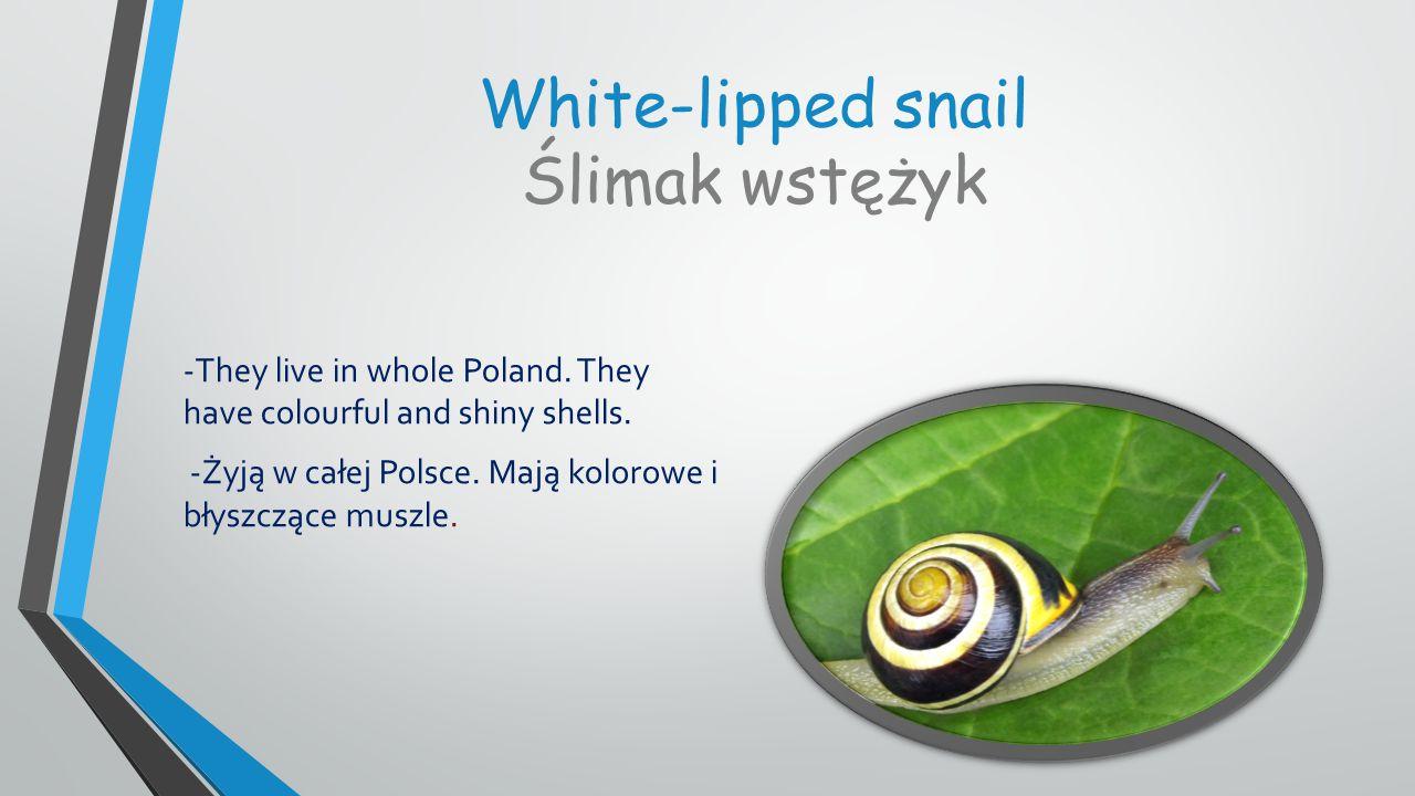 White-lipped snail Ślimak wstężyk