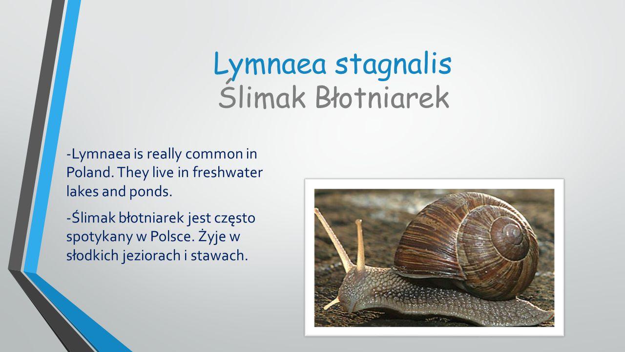 Lymnaea stagnalis Ślimak Błotniarek