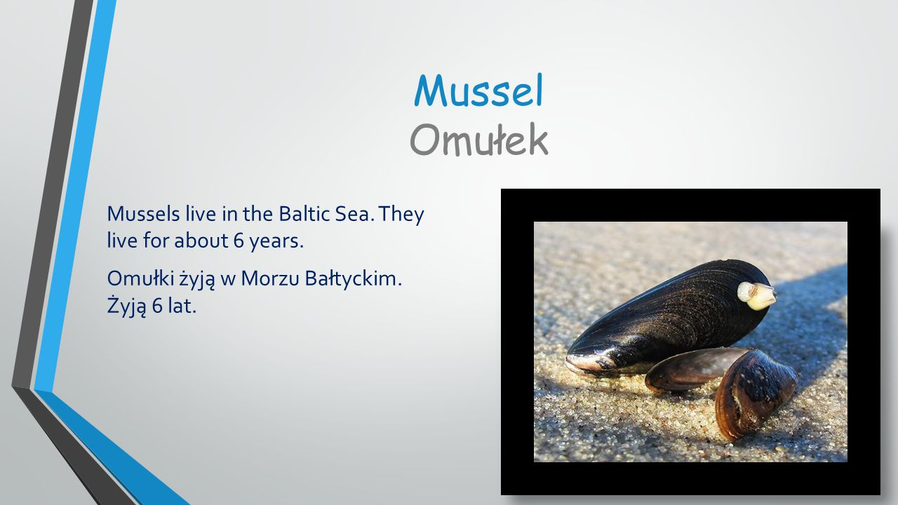 Mussel Omułek Mussels live in the Baltic Sea. They live for about 6 years.