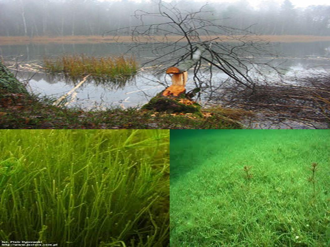 Jezioro Ostrowite (jezioro ramienicowe), łąka ramienicowa i ramienica grzywiasta