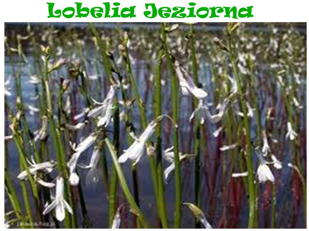 Lobelia Jeziorna