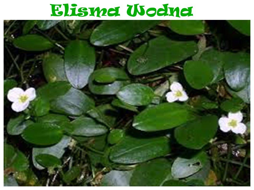 Elisma Wodna