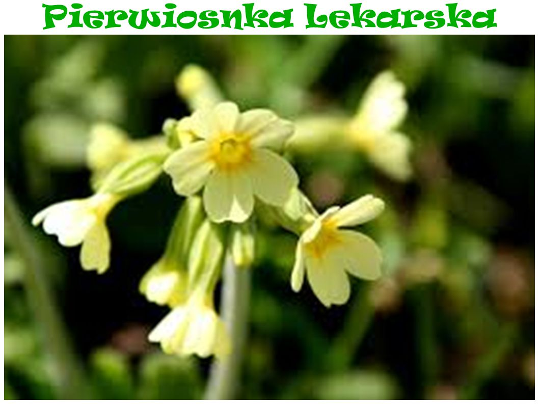 Pierwiosnka Lekarska