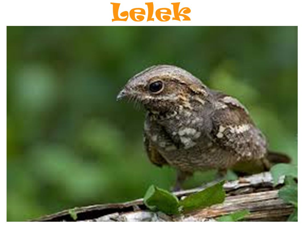 Lelek