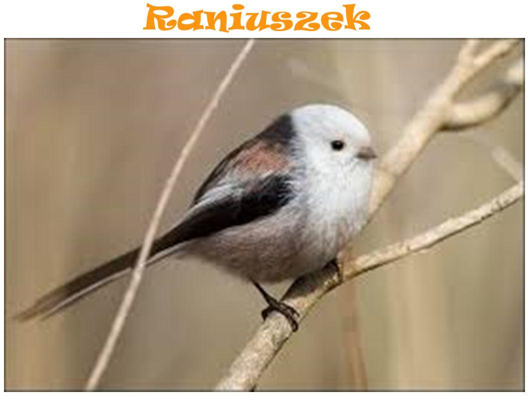 Raniuszek