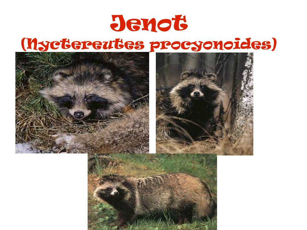 Jenot (Nyctereutes procyonoides)