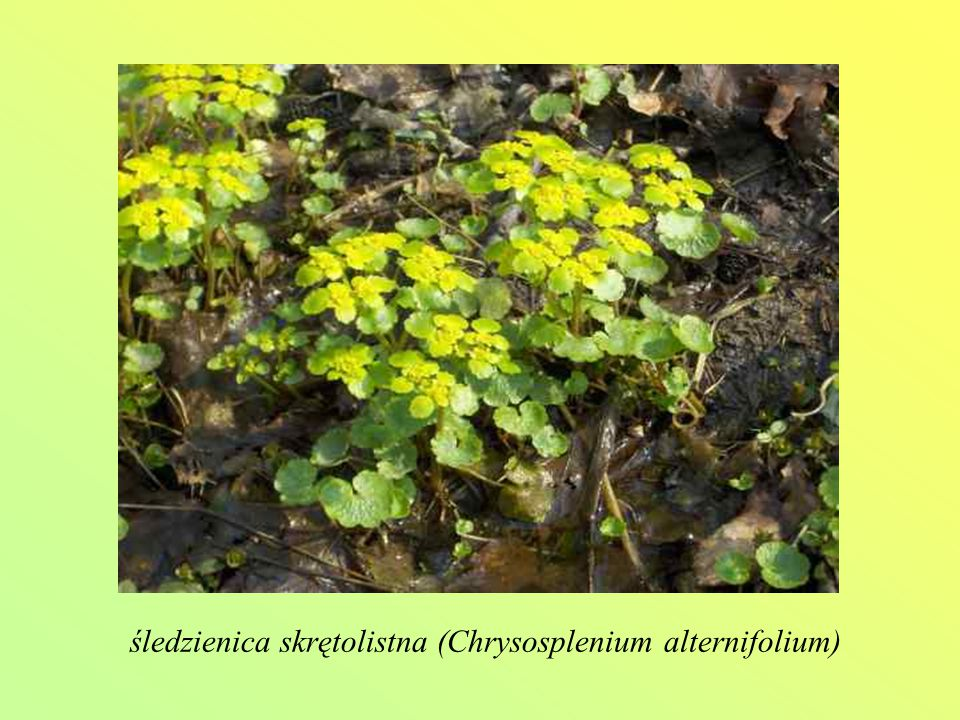 śledzienica skrętolistna (Chrysosplenium alternifolium)