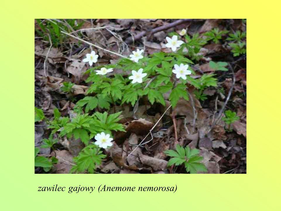 zawilec gajowy (Anemone nemorosa)