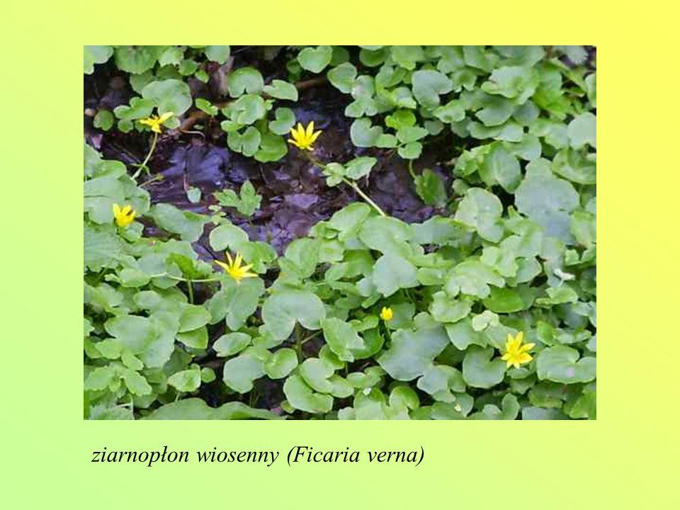 ziarnopłon wiosenny (Ficaria verna)