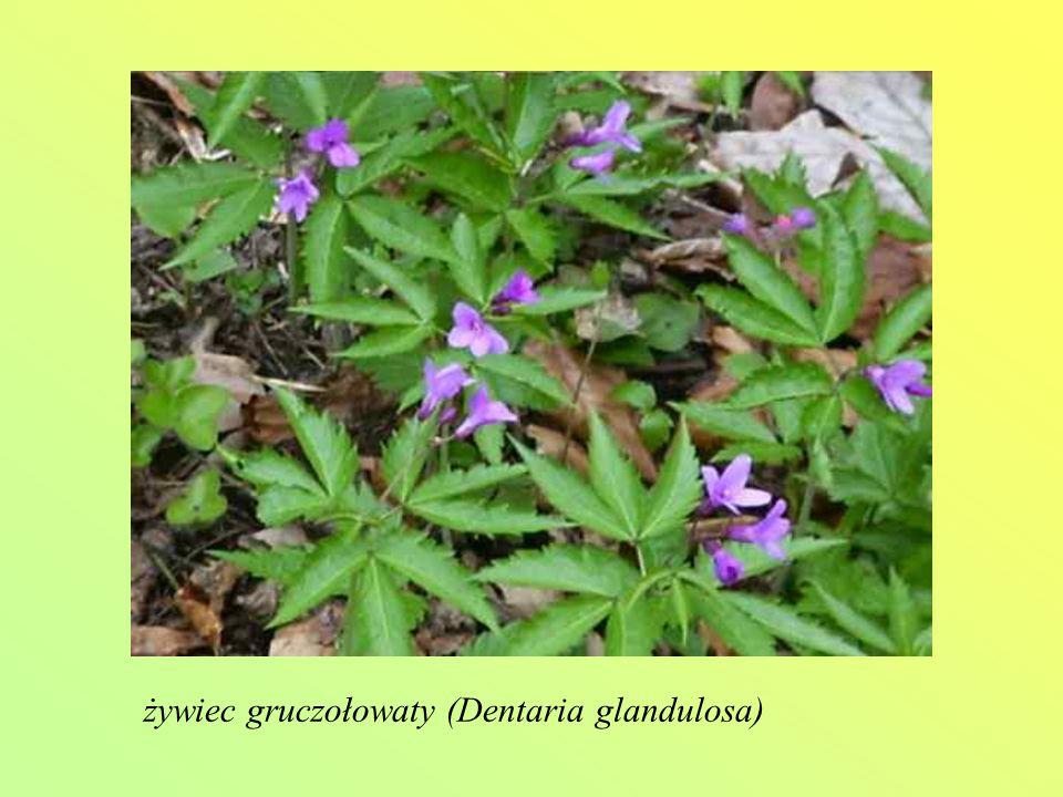 żywiec gruczołowaty (Dentaria glandulosa)