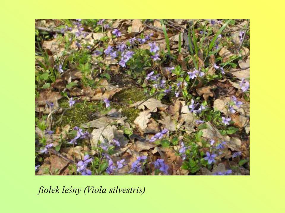 fiołek leśny (Viola silvestris)