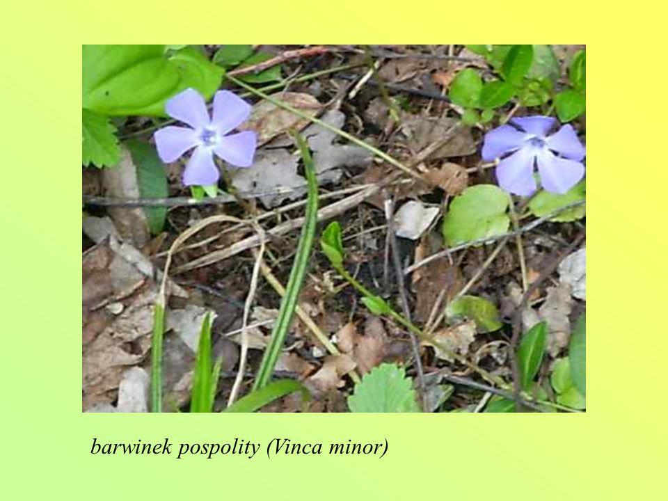 barwinek pospolity (Vinca minor)