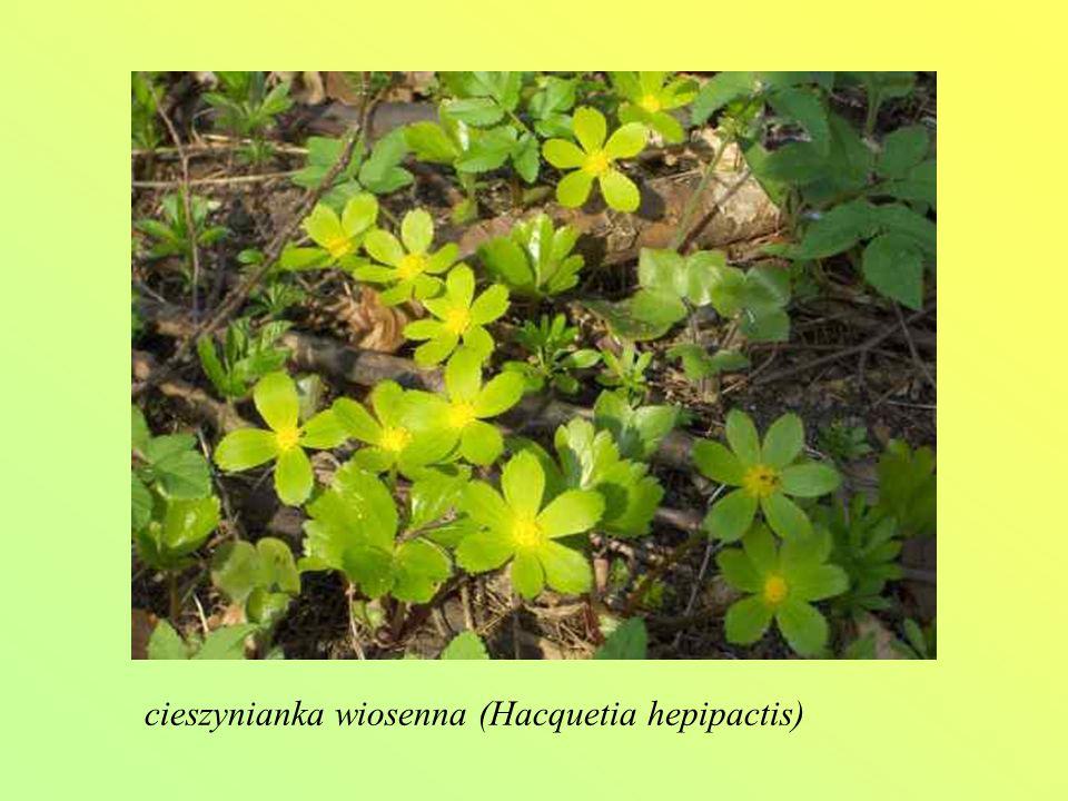 cieszynianka wiosenna (Hacquetia hepipactis)