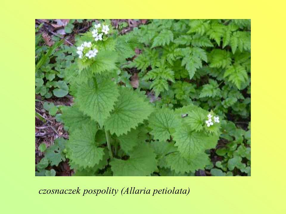 czosnaczek pospolity (Allaria petiolata)
