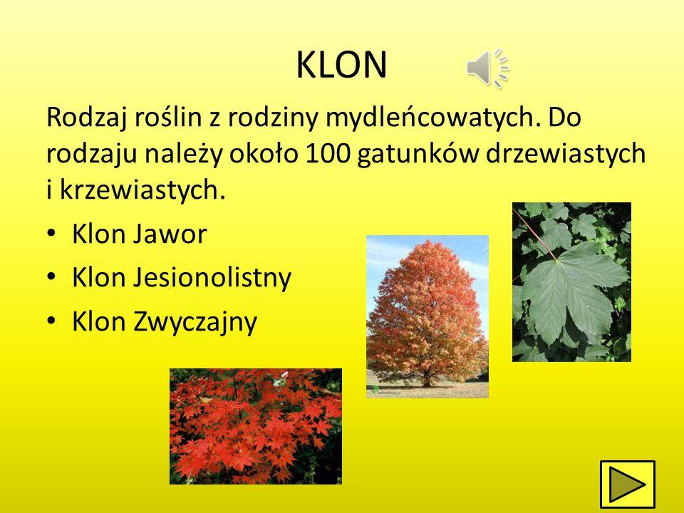 KLON Rodzaj roślin z rodziny mydleńcowatych. Do rodzaju należy około 100 gatunków drzewiastych i krzewiastych.