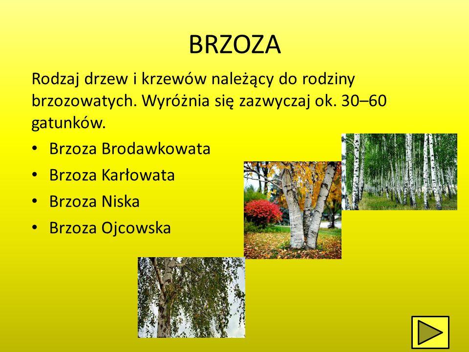 BRZOZA Rodzaj drzew i krzewów należący do rodziny brzozowatych. Wyróżnia się zazwyczaj ok. 30–60 gatunków.