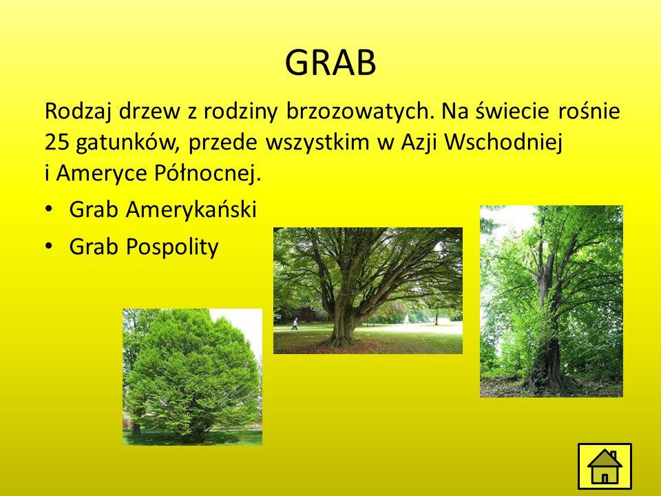GRAB Rodzaj drzew z rodziny brzozowatych. Na świecie rośnie 25 gatunków, przede wszystkim w Azji Wschodniej i Ameryce Północnej.