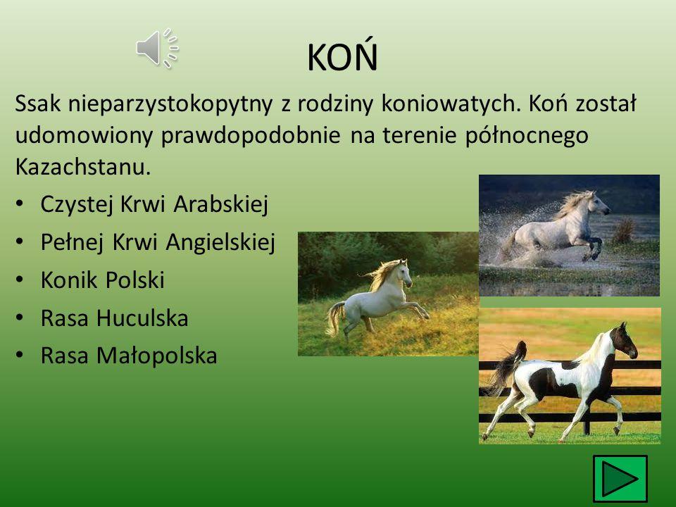 KOŃ Ssak nieparzystokopytny z rodziny koniowatych. Koń został udomowiony prawdopodobnie na terenie północnego Kazachstanu.