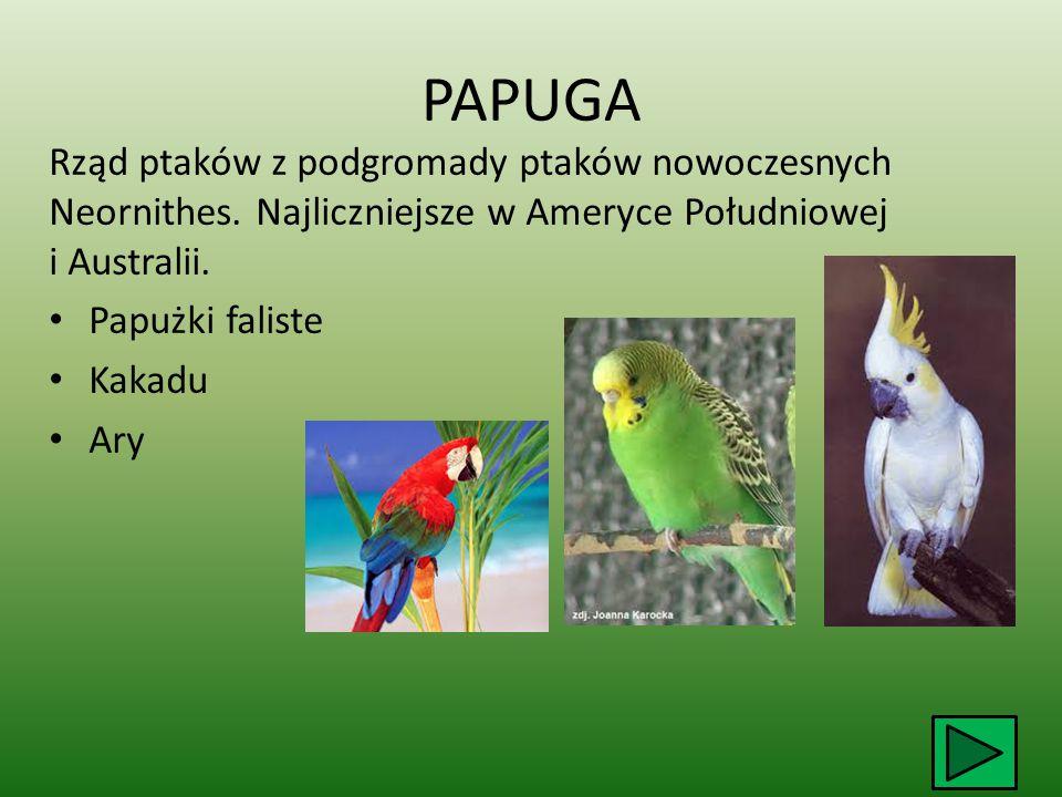 PAPUGA Rząd ptaków z podgromady ptaków nowoczesnych Neornithes. Najliczniejsze w Ameryce Południowej i Australii.
