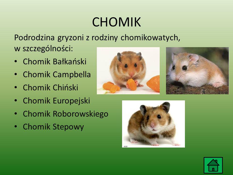 CHOMIK Podrodzina gryzoni z rodziny chomikowatych, w szczególności: