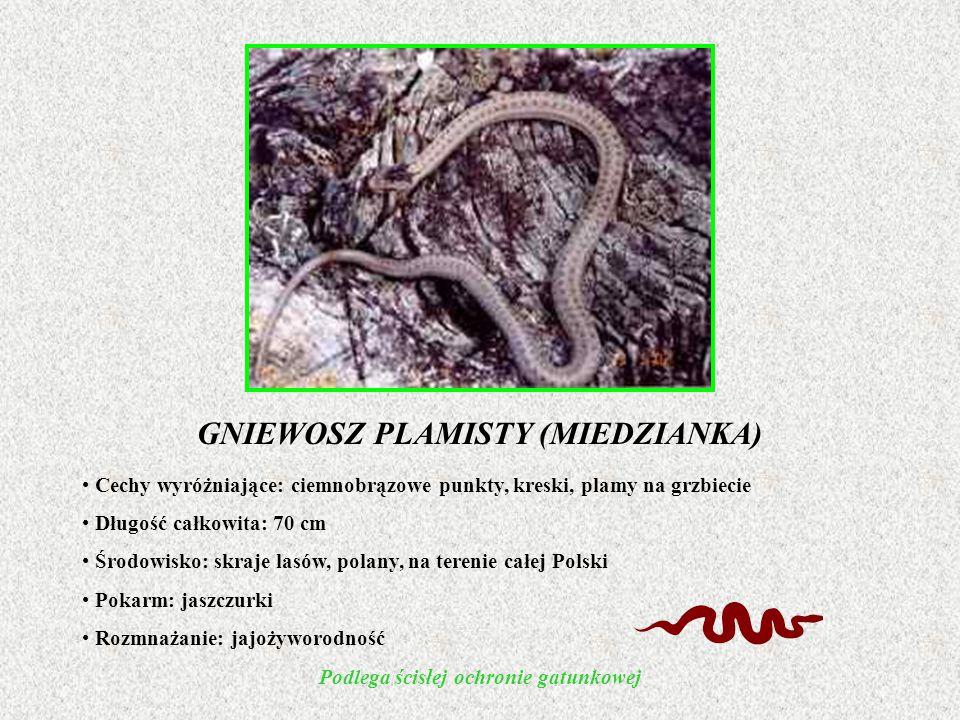 GNIEWOSZ PLAMISTY (MIEDZIANKA) Podlega ścisłej ochronie gatunkowej