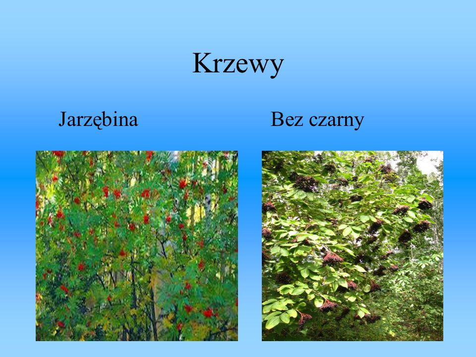 Krzewy Jarzębina Bez czarny