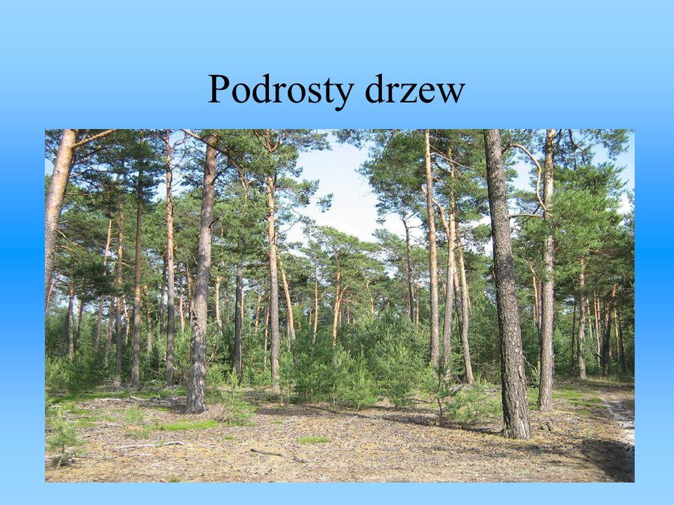 Podrosty drzew