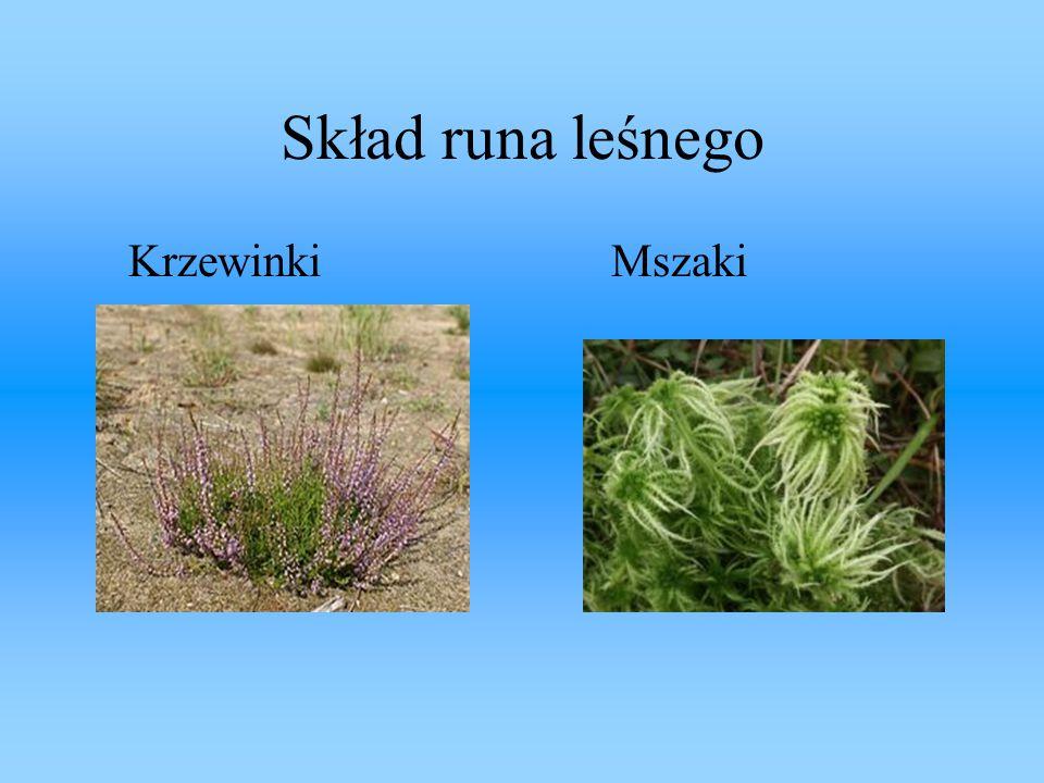 Skład runa leśnego Krzewinki Mszaki