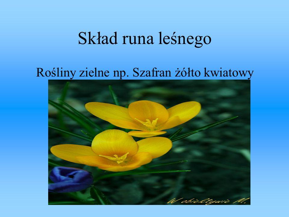 Rośliny zielne np. Szafran żółto kwiatowy