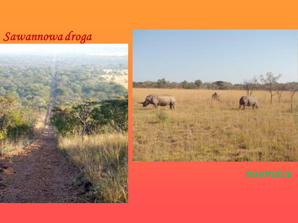 Sawannowa droga nosorożce