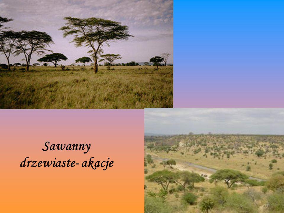 Sawanny drzewiaste- akacje