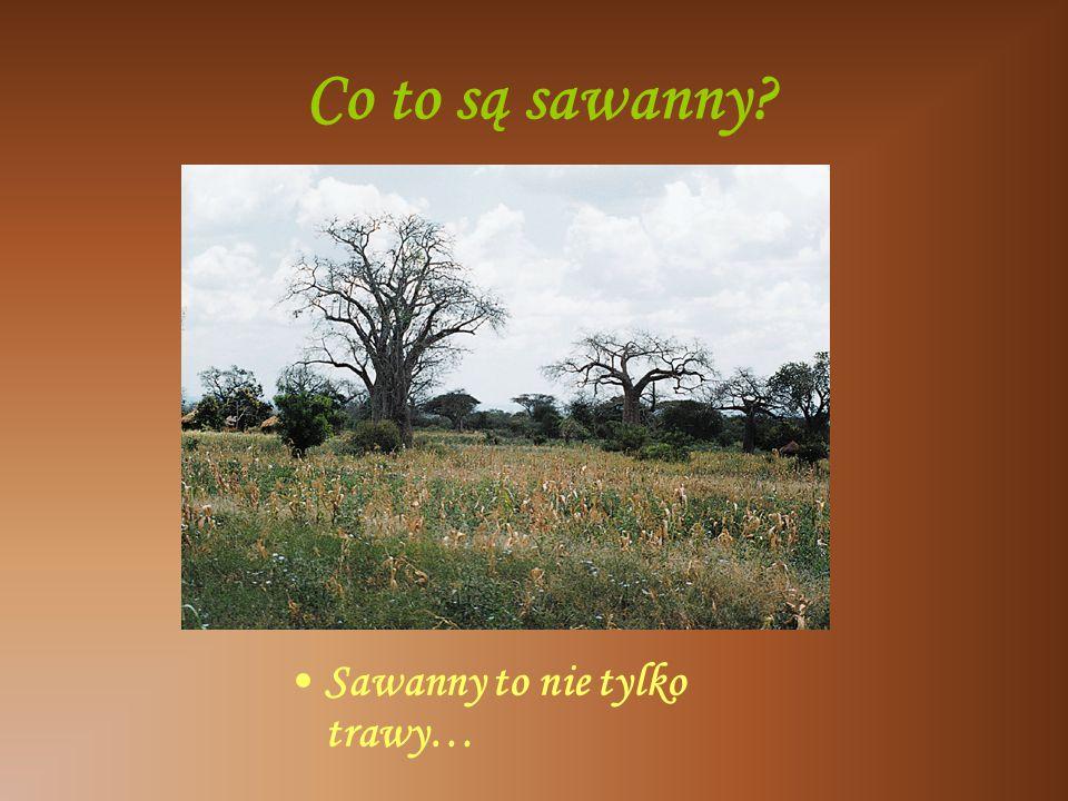 Co to są sawanny Sawanny to nie tylko trawy…