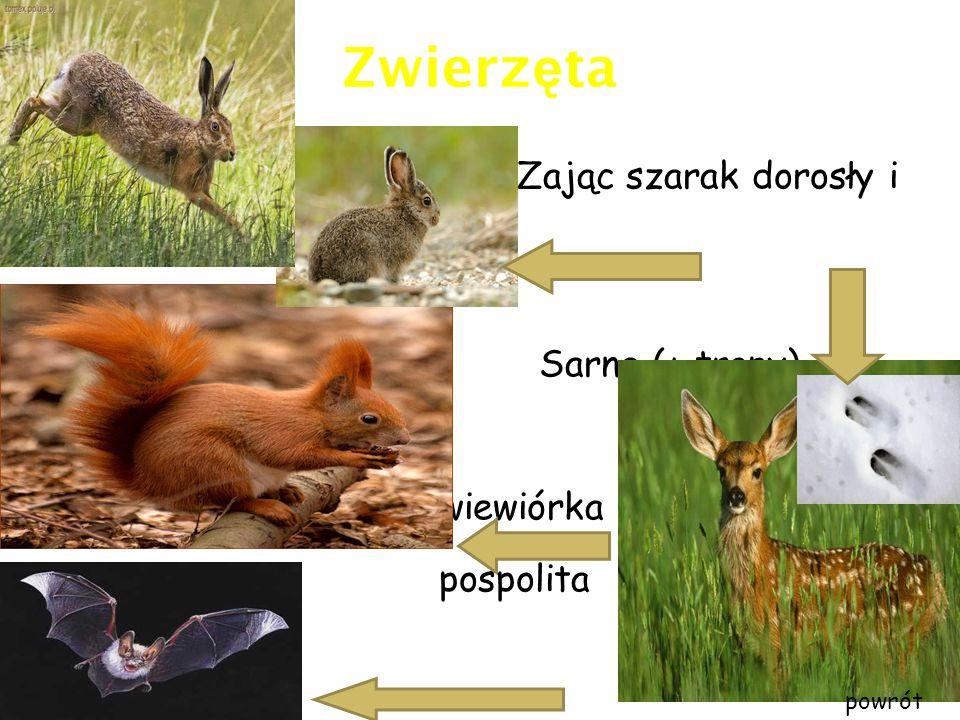 Zwierzęta Zając szarak dorosły i i młody osobnik Sarna (+ tropy)