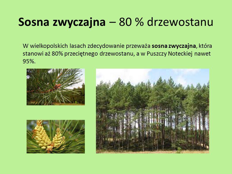 Sosna zwyczajna – 80 % drzewostanu