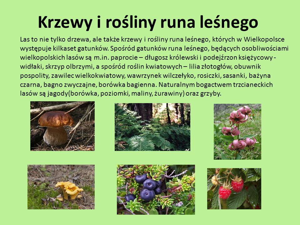 Krzewy i rośliny runa leśnego