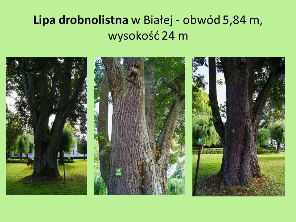 Lipa drobnolistna w Białej - obwód 5,84 m, wysokość 24 m