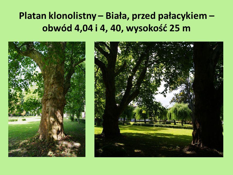 Platan klonolistny – Biała, przed pałacykiem – obwód 4,04 i 4, 40, wysokość 25 m