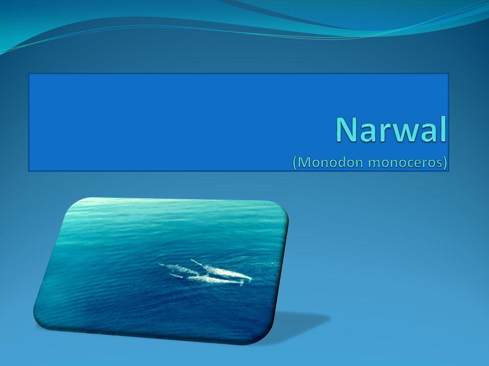 Narwal (Monodon monoceros)