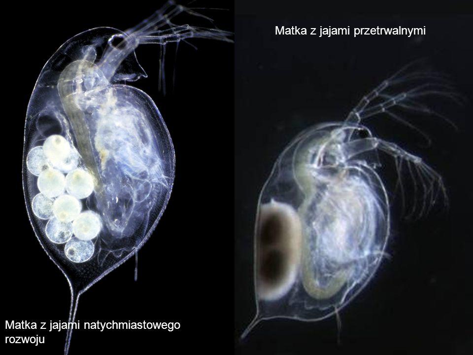 Matka z jajami przetrwalnymi