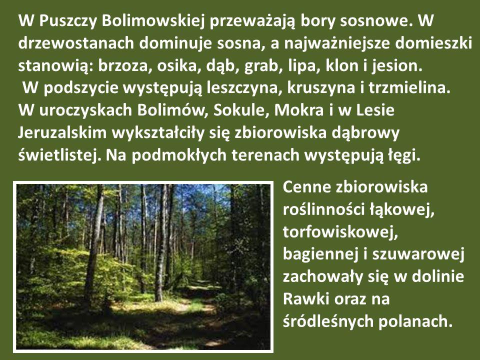 W Puszczy Bolimowskiej przeważają bory sosnowe
