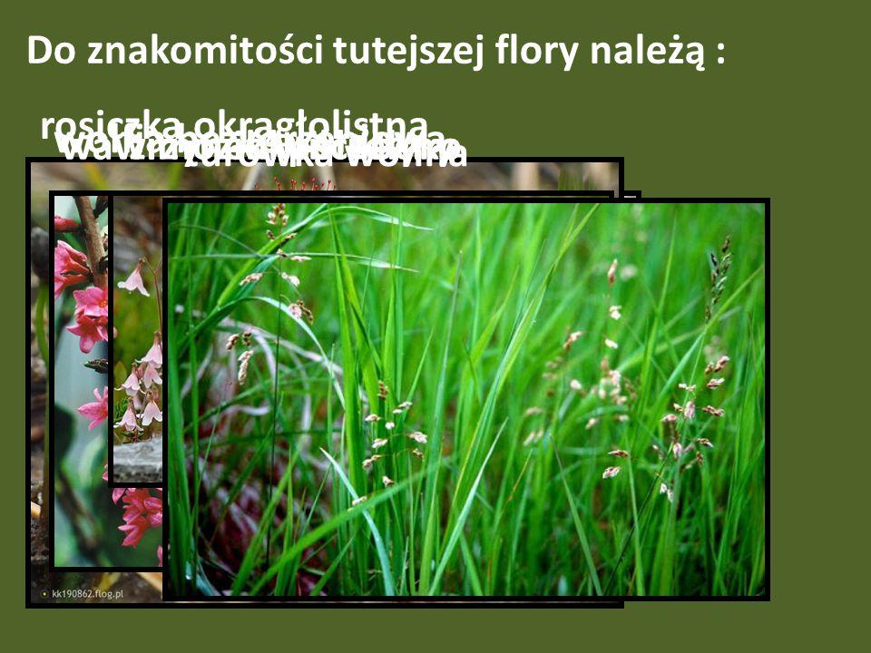 Do znakomitości tutejszej flory należą :