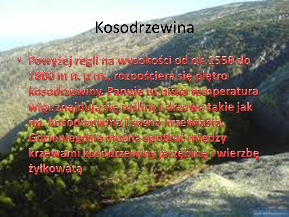 Kosodrzewina