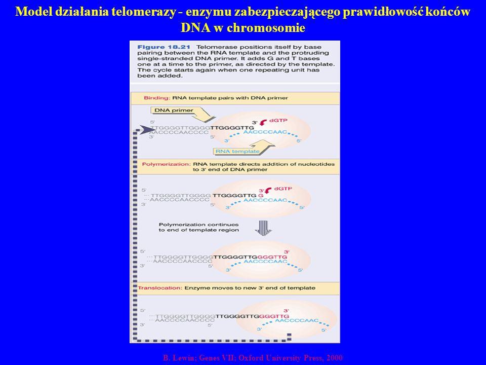 Model działania telomerazy - enzymu zabezpieczającego prawidłowość końców DNA w chromosomie