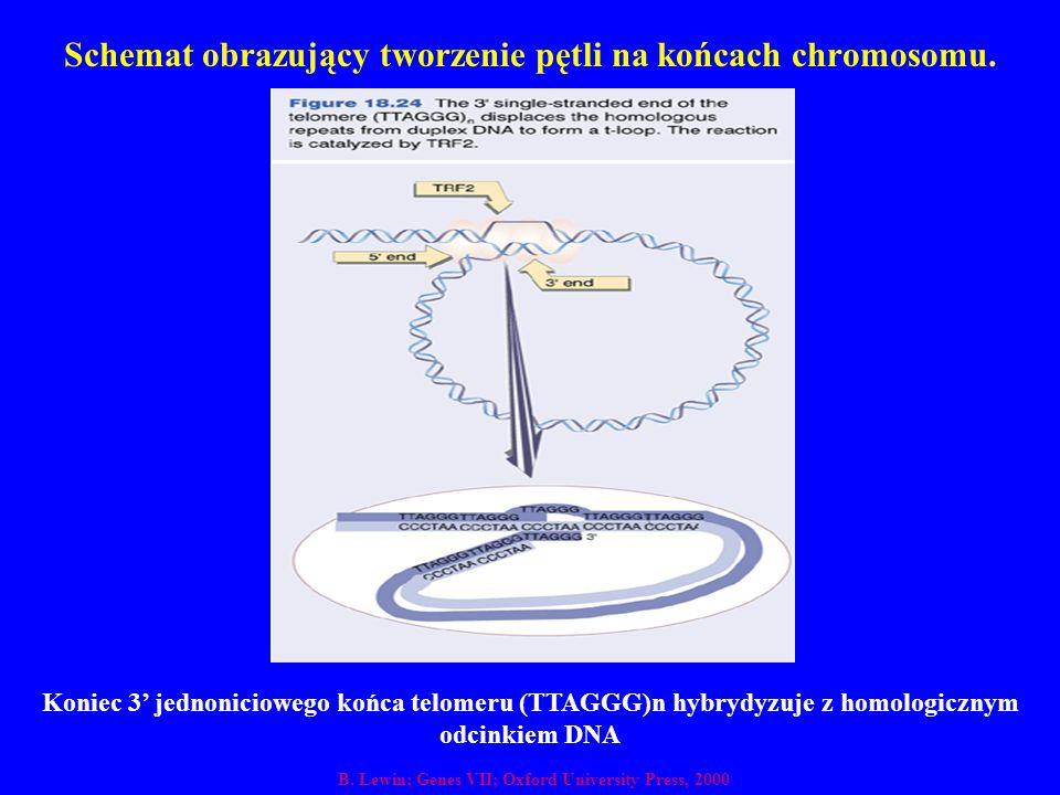 Schemat obrazujący tworzenie pętli na końcach chromosomu.