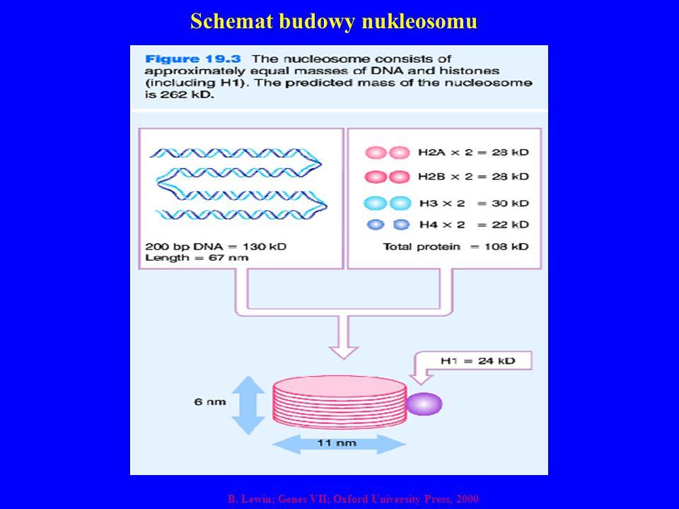 Schemat budowy nukleosomu