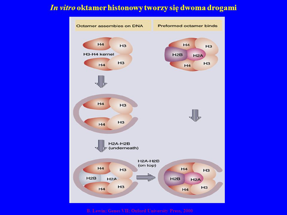In vitro oktamer histonowy tworzy się dwoma drogami
