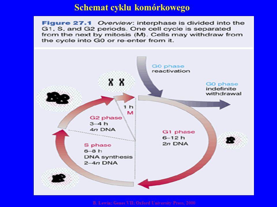 Schemat cyklu komórkowego