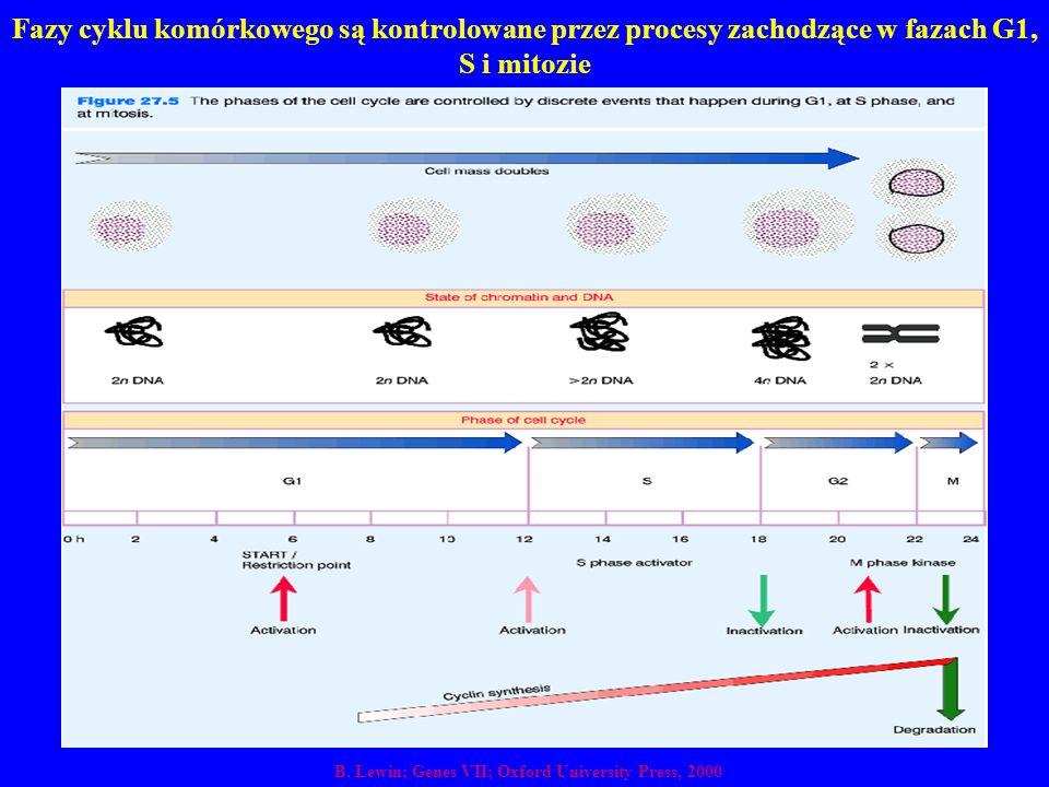 Fazy cyklu komórkowego są kontrolowane przez procesy zachodzące w fazach G1, S i mitozie